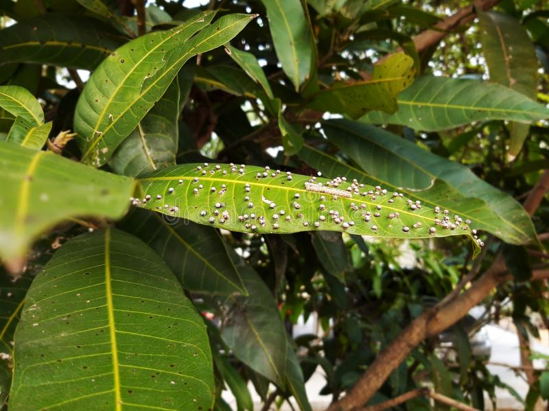 Plant Pathology,Gall midge in mango leaf royalty free stock photo