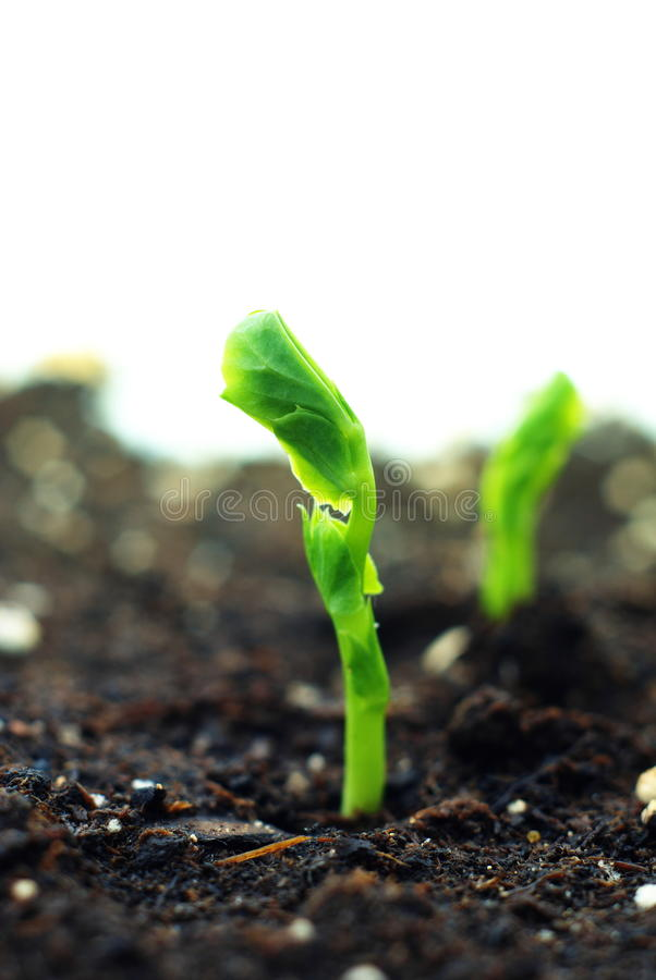 Download Plant of pea stock image. Image of emerging, garden, germinate - 20590485