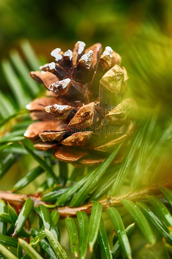 Plant, Pine Family, Tree, Close Up stock images