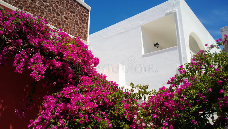The plant is pink in color twisting around the walls of Oia on Santorini island. & x28;Greece& x29 royalty free stock photo
