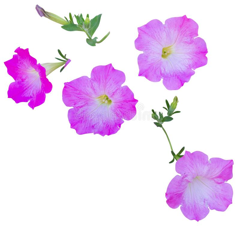 Plant pink flower isolated on white background with clipping path included.  royalty free stock photo