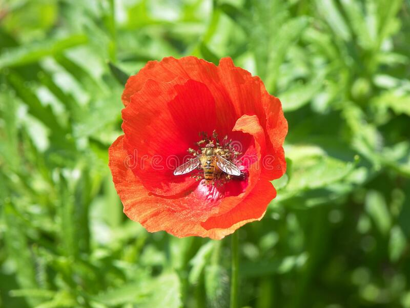 Poppy nature flower. The plant of poppy featuring nature flower royalty free stock images