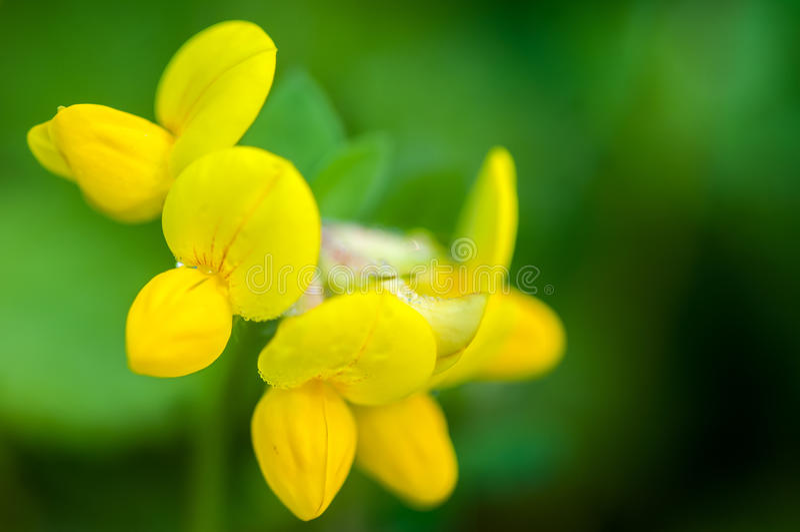 Plant portrait bird's-foot trefoil. (Lotus corniculatus) flowering in a wild flower meadow stock photos