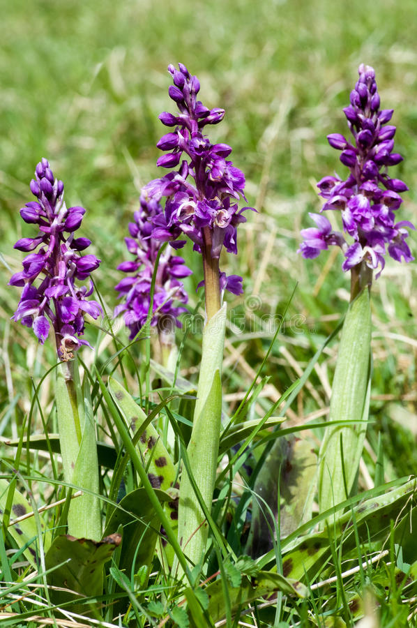 Plant portrait early-purple orchid stock photography