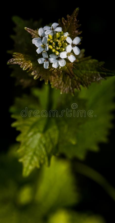 Plant portrait garlic mustard. Garlic mustard or Jack-by-the-hedge flowering on a hedge bank in spring sunshine; UK fenland royalty free stock photo
