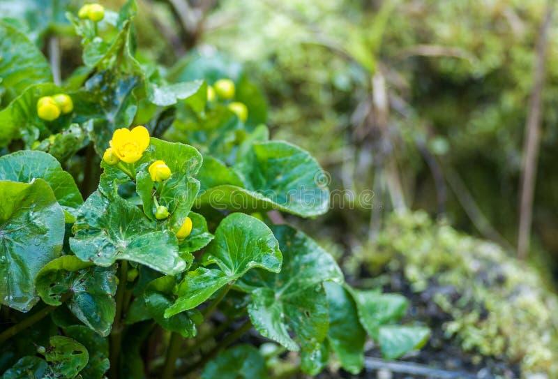 Plant portrait marsh marigold stock photography