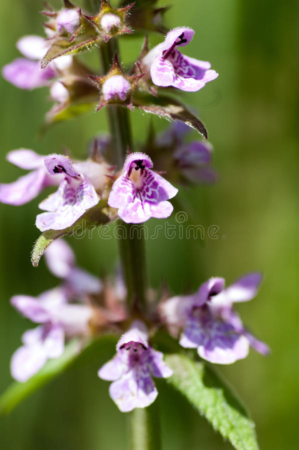 Plant portrait marsh woundwort royalty free stock photos