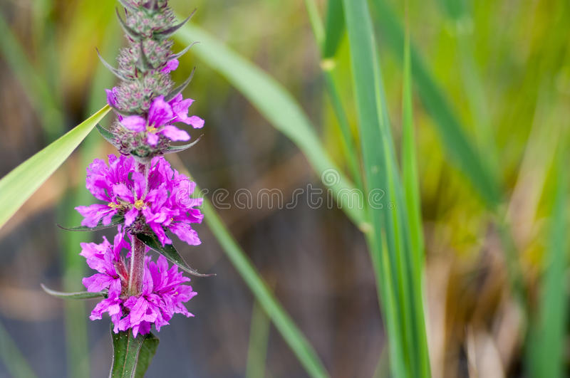 Plant portrait purple-loosestrife. (Lythrum salicaria) flowering in the margins of a water course stock photo