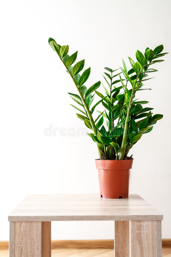 Green leaves of Zamioculcas on white background royalty free stock images
