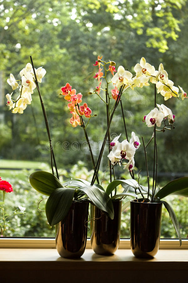 Free Plant Pots With Moth Orchids In Window Royalty Free Stock Photos - 24299898