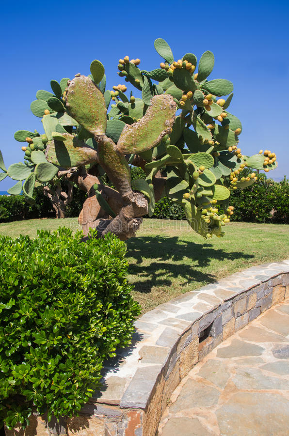 Plant prickly pears. With marine background stock photography