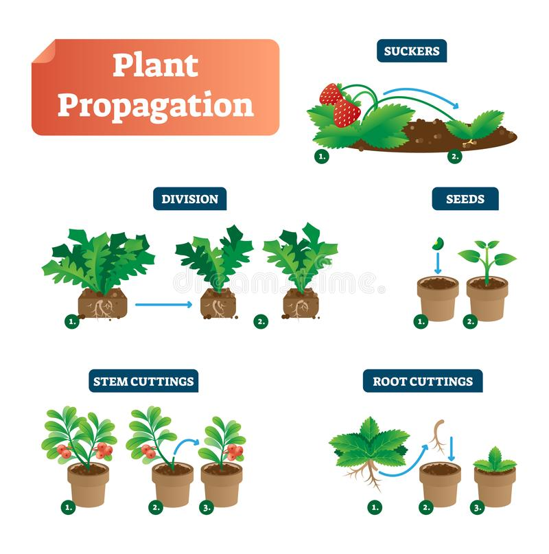 Plant propagation vector illustration diagram. Scheme with biological labels on suckers, division, seeds, stem and root cuttings. Plant propagation vector royalty free illustration