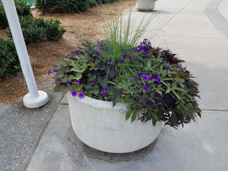 Plant with purple flowers in cement pot. On sidewalk royalty free stock photo