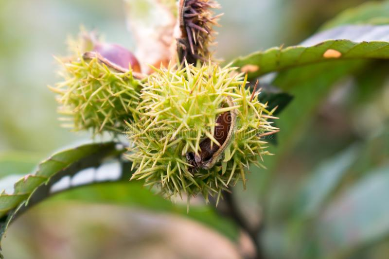 Plant, Rambutan, Thorns Spines And Prickles, Branch royalty free stock photo