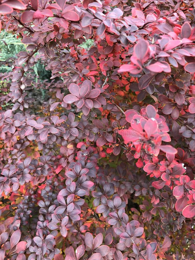 Plant with red leaves. Autumn background nature pattern texture beauty bright color light natural wallpaper fern ancient branch bush day earth exterior fade stock photo