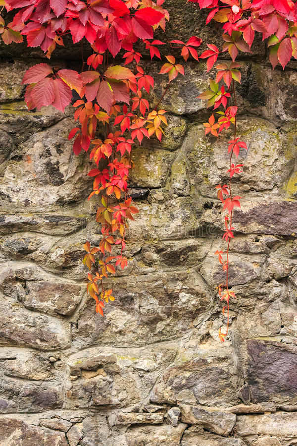 Wall Art Red Leaves : Plant with red leaves on stone wall stock image