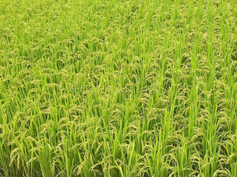 Rice field. The plant of rice featuring field stock image