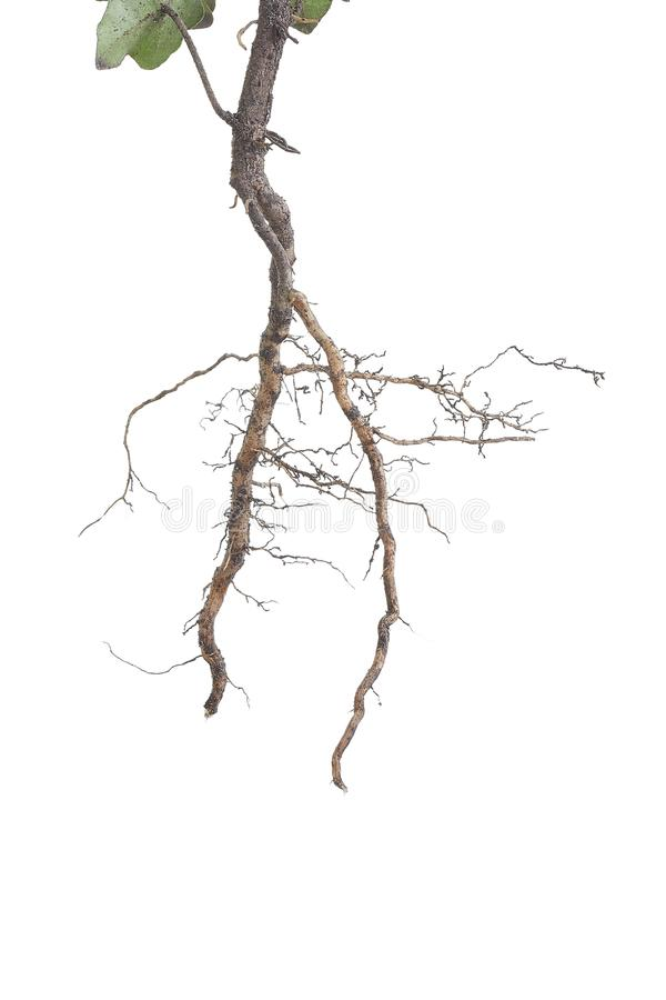 Plant roots closeup royalty free stock images
