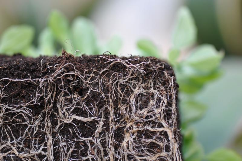Plant roots royalty free stock photo