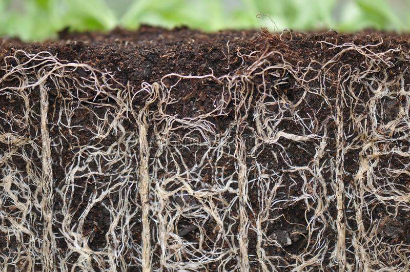 Plant roots. Macro detail of plant roots from a pot stock photography