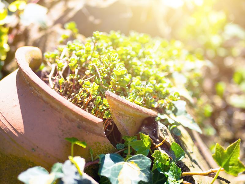 Plant sedum in a broken pot on the ground. royalty free stock image