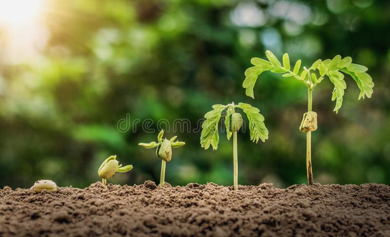 Plant seeding growing step with sunrise with vintage tone. Filter royalty free stock photo