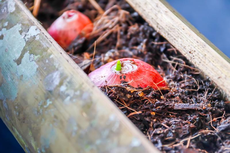 Plant seedlings growing in pots of bamboo of organic vegetables stock photos