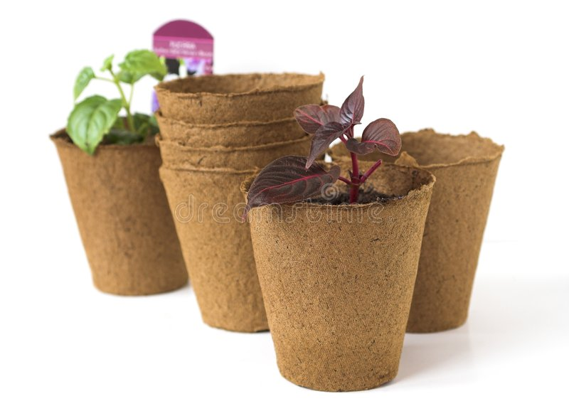 Plant Seedlings in Peat Pots royalty free stock image