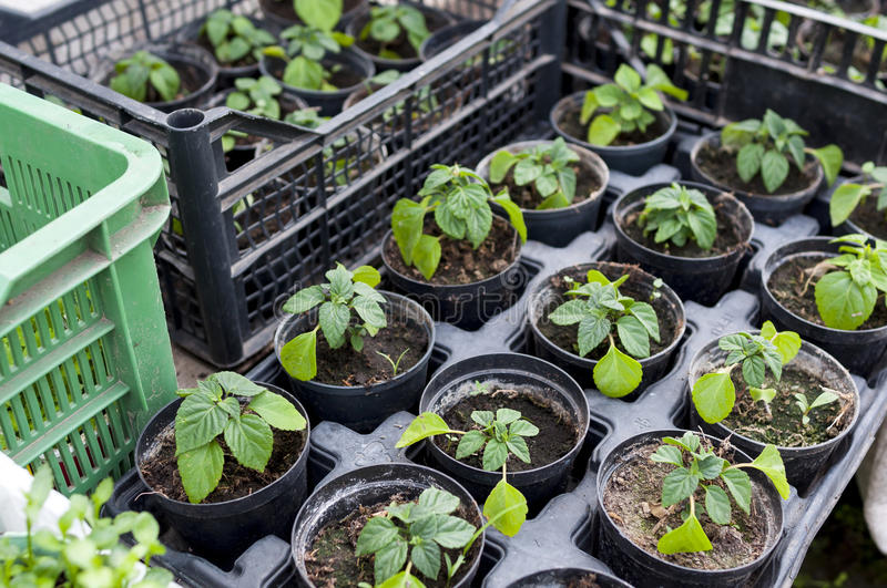 Plant seedlings royalty free stock images