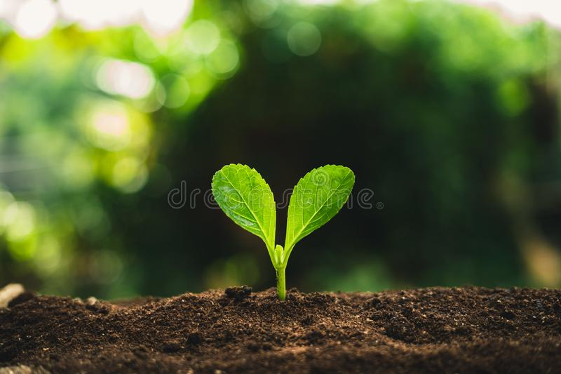 Plant Seeds Planting trees growth,The seeds are germinating on good quality soils in nature stock photography