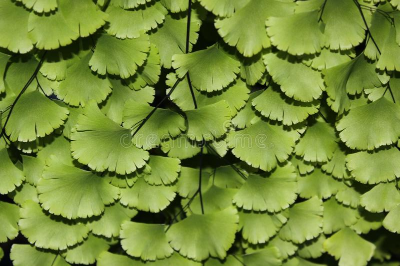 Close up of green leaves royalty free stock photo