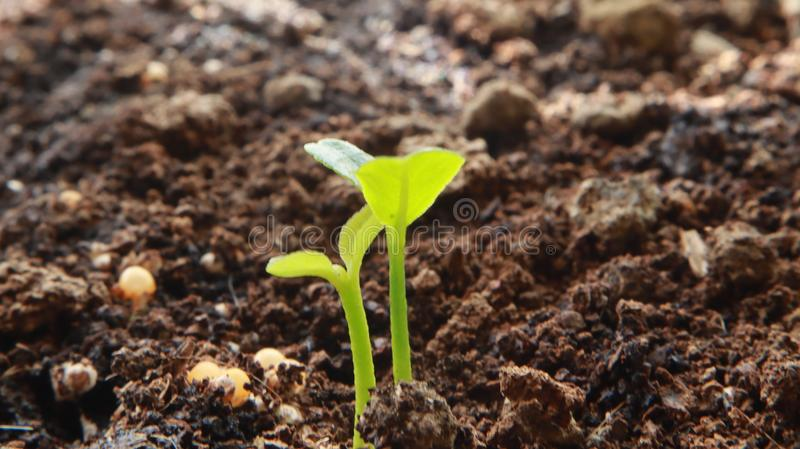 Plant Sprout Blossoming from the Ground. Macro shot from plant seed blossoming up the ground, details of soil and other minerals that go with the plant`s growth royalty free stock photography
