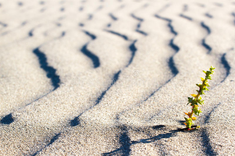 Plant sprouting in the desert in Sahara. Sprout in the desert. Green plant sprouting in the desert in Sahara. Sprout in the desert royalty free stock images
