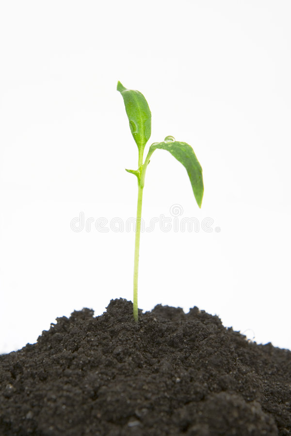Download Plant sprouting from dirt stock photo. Image of organic - 5528144