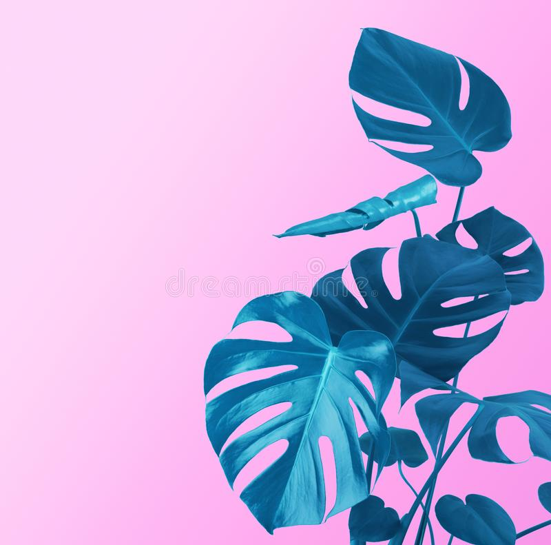 Plant stem and leaves of blue color on purple background royalty free stock photo