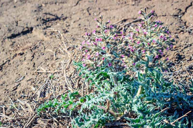 A plant in the steppes. Of Southern Kazakhstan in the spring stock photography