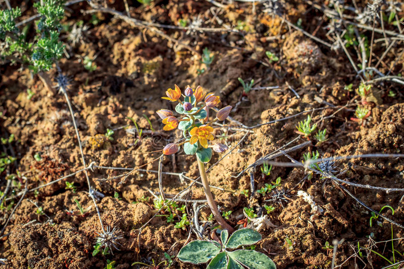 A plant in the steppes. Of Southern Kazakhstan in the spring royalty free stock photo