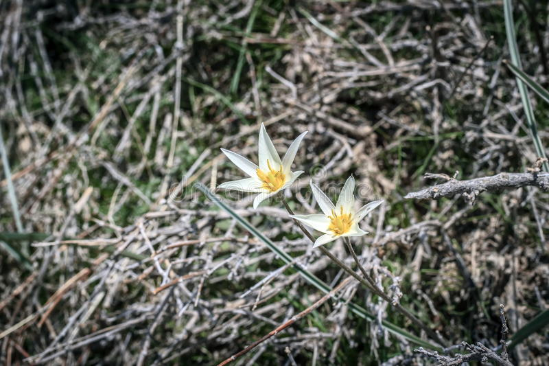 A plant in the steppes. Of Southern Kazakhstan in the spring royalty free stock photography