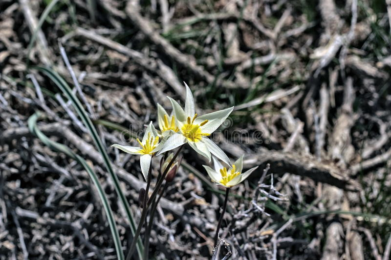 A plant in the steppes. Of Southern Kazakhstan in the spring royalty free stock photos