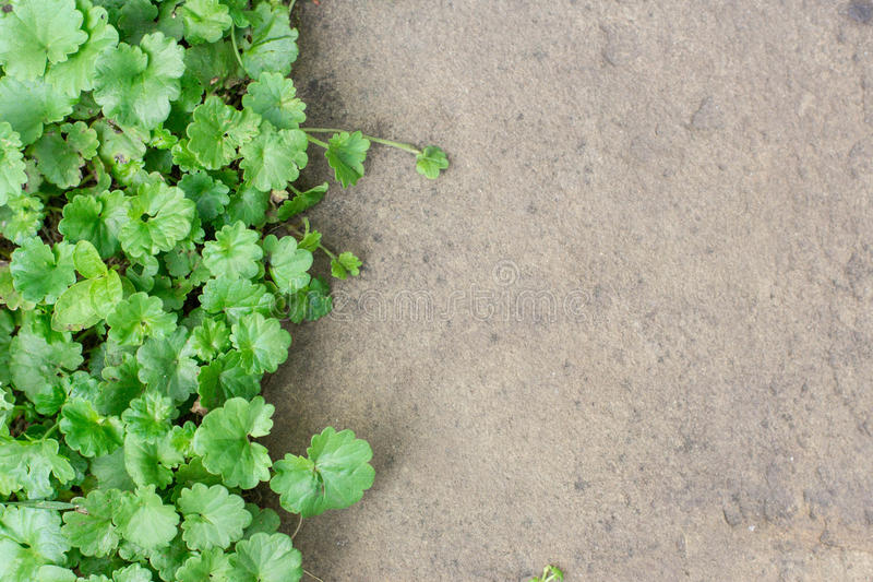 Plant on the stone texture. Pathway in the garden.  royalty free stock photos