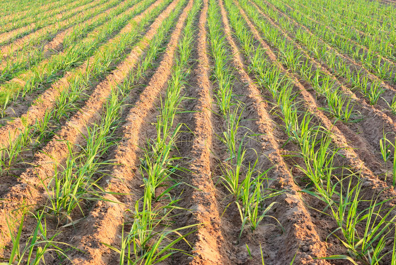 Plant sugar cane. Row of young sugar cane after plant stock photo