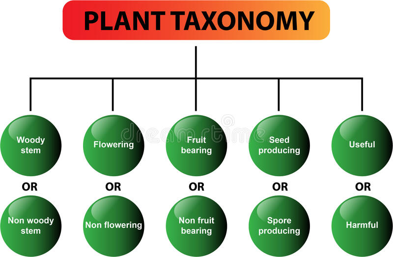 Plant taxonomy diagram - vector. Clear diagram of the plant taxonomy. Great for school, students, teachers, presentations and learning materials. Also in vector stock illustration