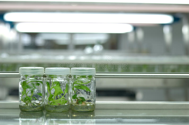 Plant tissue culture. Science research laboratory grown green plant in sterile bottle for education concept stock photos