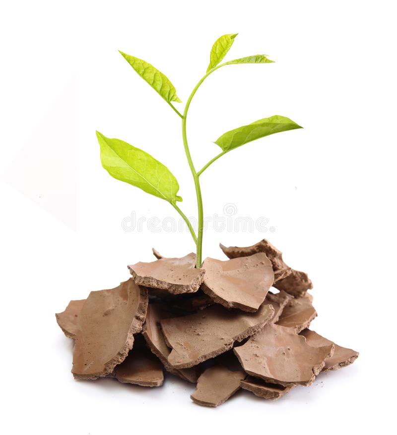 Plant tree in cracked soil royalty free stock photo