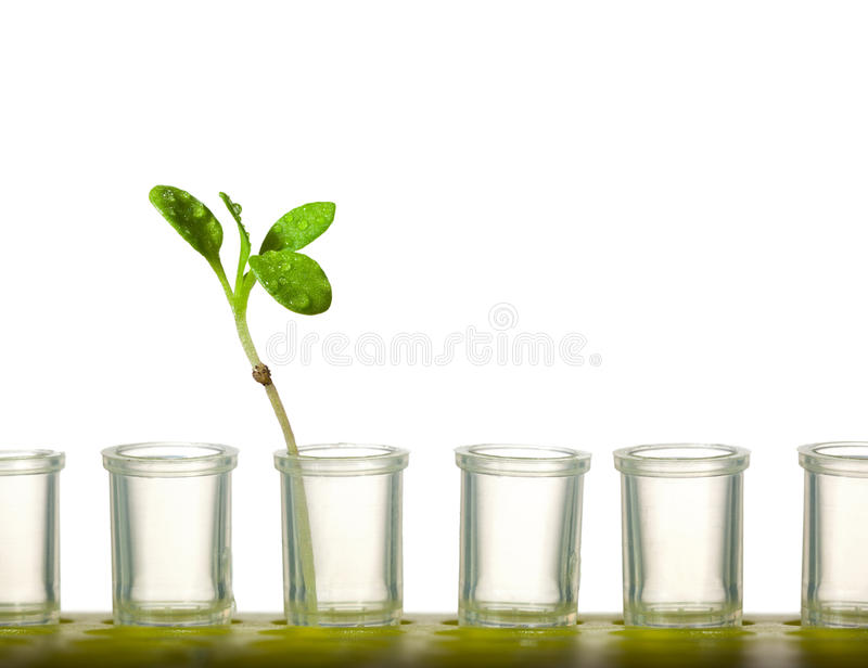 Plant in tubes. Macro of small sprout in laboratory tubes isolated on white - new artificial life creation concept stock photos