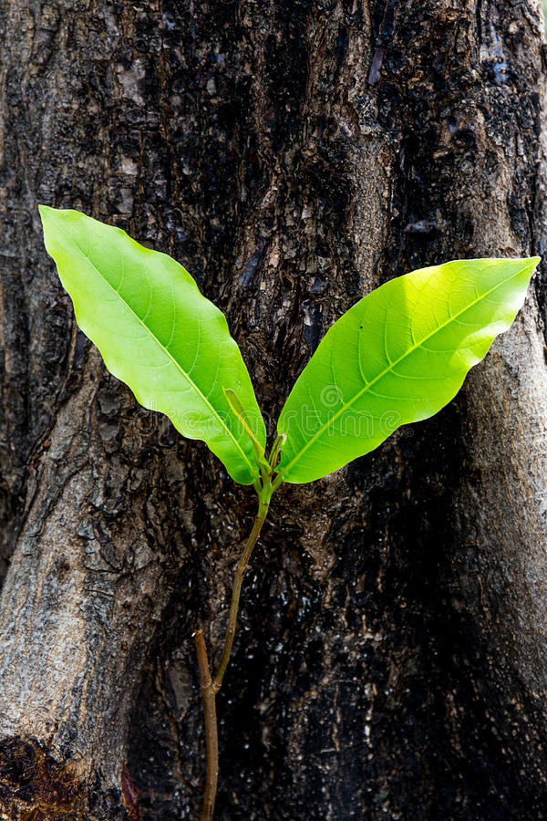 Plant with two leaves is growing stock photos
