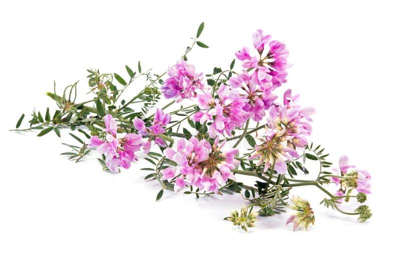 Plant Vicia or Mouse pea stock photo