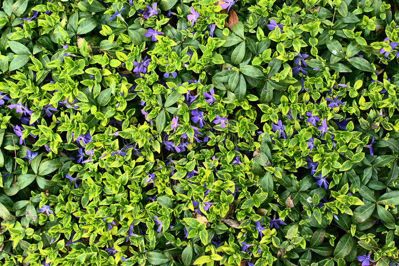 Plant Vinca minor. Green background of a plant Vinca minor royalty free stock photography