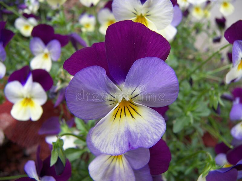 Viola violet flowers. The plant of viola featuring violet flowers royalty free stock images