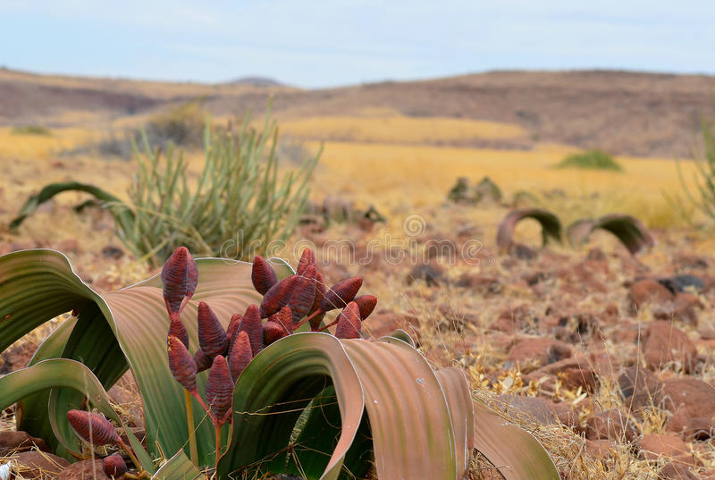 Plant welwitschia stock photo
